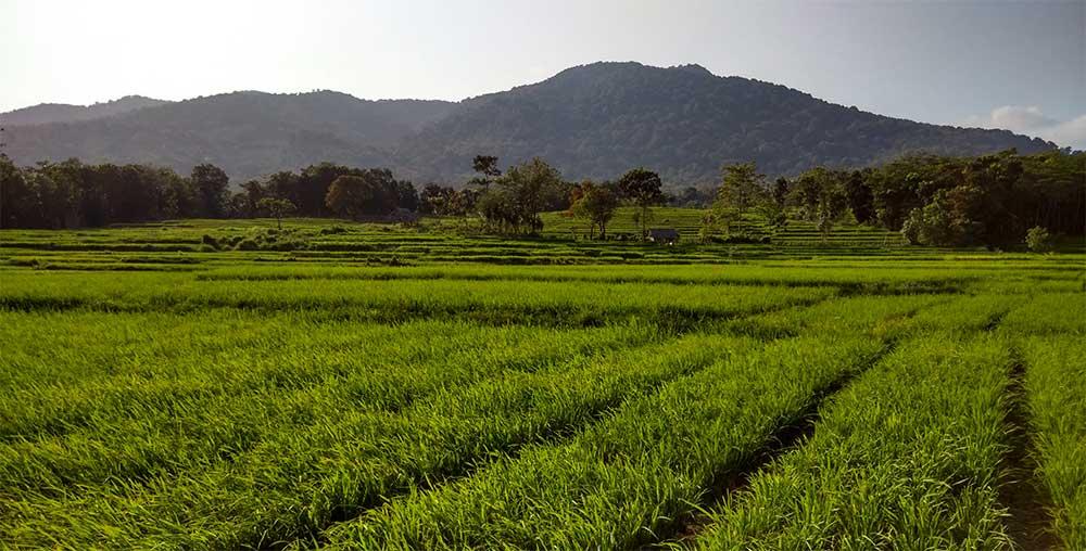Ein Reisfeld in Ujung Kulon (westlische Java inseln) mit Honje Gebirge als Hintergrund.  Foto: Ameer Brontoari